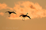 Greater Sandhill Cranes (Grus canadensis) two in flight silhouetted at sunset, Bosque Del Apache National Wildlife Refuge, New Mexico, USA