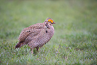 572110223 a wild male  lesser prairie chicken tympanuchus pallidicinctus an endangered species at a lek on a ranch near canadian texas united states
