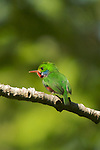 The Cuban Tody (Todus multicolor) is a tody. Of all of the todies, they seem to be the most colorful. Cuban Todys can only fly short distances, as they have rounded wings. Some scientists think that the Cuban Tody's ancestors may have flown over from the mainland long ago when Cuba was closer to it<br /> .peninsula de Guanahacabibes (western point of Cuba).