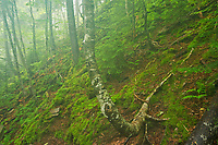 Acadian forest in fog<br />