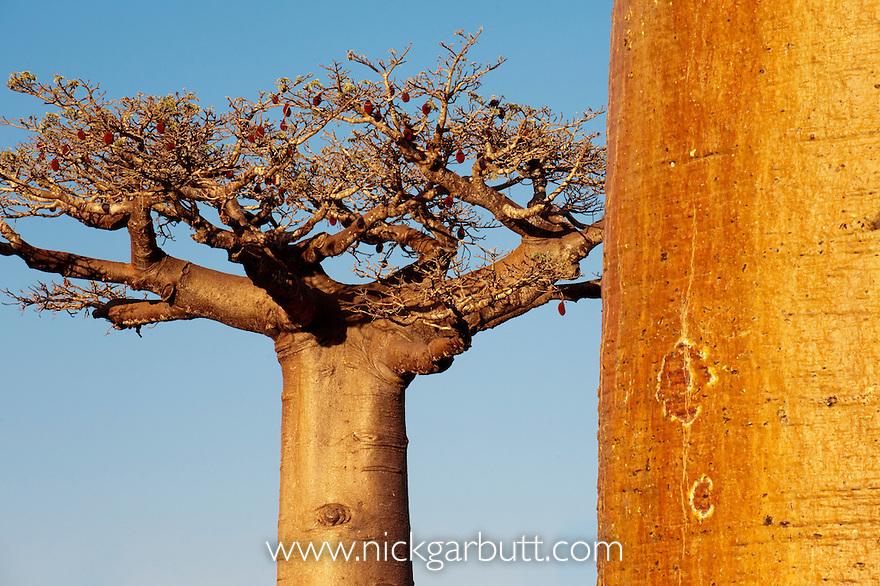 Grandidier's Baobabs (Adansonia grandidieri) in fruit. Near Morondava, western Madagascar.