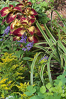 Dwarf Buddleia Buddleja Lo and Behold Blue Chip with Coleus Solenostemon and Solidago goldenrod and Carex Treasure Island