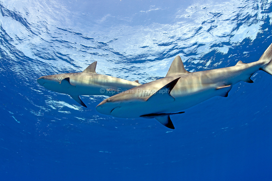 Caribbean Reef Shark at Jardines de la Reina in Cuba.