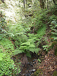 Ferns in West Waddell Creek Wilderness