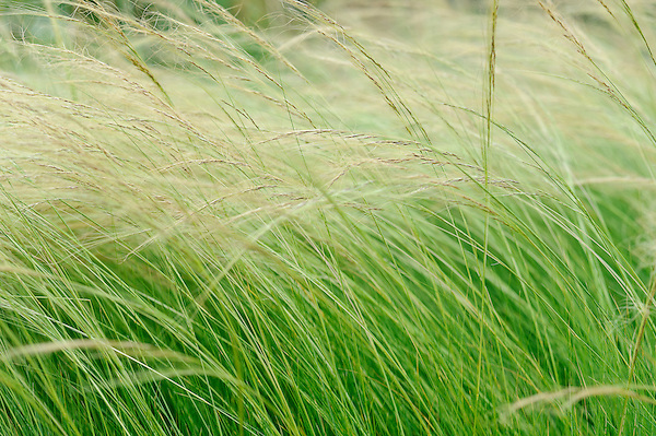 Stipa Lessingiana