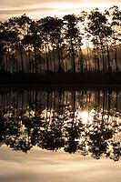 Sunrise through Florida Slash Pines, Pinus elliottii, Everglades National Park, Florida