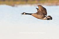 00748-05804 Canada Goose (Branta canadensis) in flight, Marion County, IL