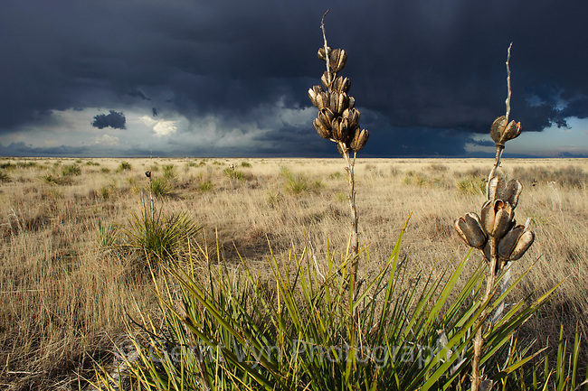 Sandsage steppe, prairie yucca and approaching thunderstorm. This is the habitat of teh Lesser Prairie-Chicken. Cimarron National Grassland, Kansas. April.