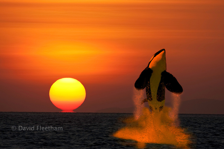 A killer whale, Orcinus orca, leaping out of the water in front of a sunset. Digital Composite.