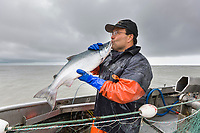 Commercial fisherman Bill Webber exalts in his catch of the world famous Copper river sockeye salmon during a drift gill net opener on the Copper River Delta flats, near Cordova, Alaska.