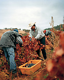 USA, California, Harvesting grapes at the Sabon Estate Winery, Plymouth, Gold Country