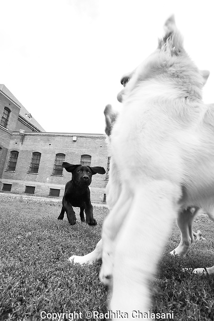 BEACON, NEW YORK:  Puppies get a little free time to run around and play during a training class for the Puppies Behind Bars program at Fishkill Correctional Facility. The dogs start training at at 4-weeks old. The program prepares puppies to be service dogs and consists of one day of class a week on topics such as obedience training, grooming, basic care of the dogs. The dogs spend 18-20 months in the program working with the prisoners.