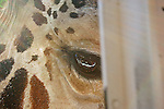 Peek a Boo Giraffe. A Close up of a Giraffe peeking through the window of a bus.
