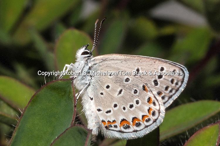 karner blue butterfly female, macro side view looking upwards