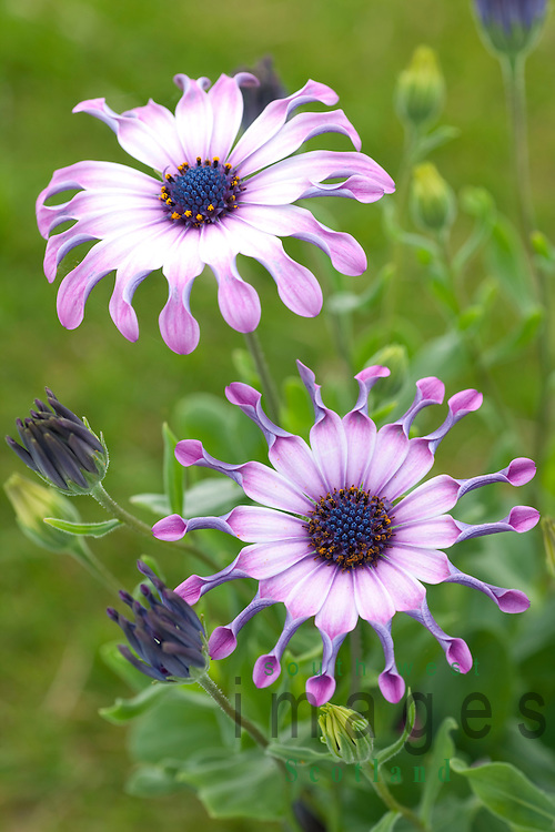 Garden flowers UK Serenity Osteospermum Pink (P) or African Daisy or Cape Daisies