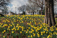 Spring Daffodils in bloom at MSU Amphitheater, with Fraternity Kappa Alpha house in background.<br />  (photo by Megan Bean / &copy; Mississippi State University)