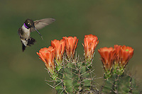 Black-chinned Hummingbird, Archilochus alexandri, male in flight feeding on Claret Cup Cactus (Echinocereus triglochidiatus), Uvalde County, Hill Country, Texas, USA