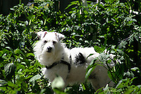 Jack Russell Terrier in the Garden