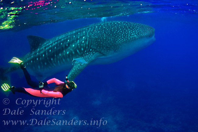 Snorkeler swims with a Whale Shark (Rhincodon typus) in the Galapagos Islands, Ecuador.