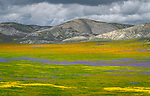 Carrizo Plain National Monument, California:<br /> Carrizo valley floor covered with swaths of colored wildflowers. Temblor range hills.