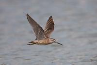 Short-billed Dowitcher (Limnodromus griseus) in-flight, East Pond, Jamaica Bay Wildlife Refuge