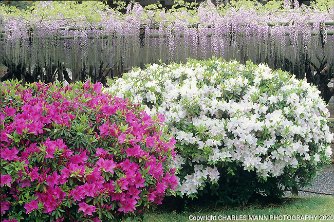 Azeleas and wisteria signal the  onset of the colorful spring  bloom and the peak time called Golden Week.