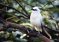 Bali Mynah, a white bird with blue around eyes perched on a tree branch - Free Stock Photo.