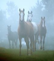 Arabian mares in fog.