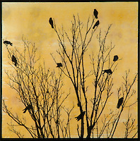 Mixed media photo transfer of crows in tree branches over encaustic painting.