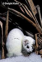 MA28-132z  Short-Tailed Weasel - ermine exploring marsh for prey in winter - Mustela erminea