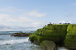 Windansea, La Jolla, California; seagulls sit atop the algae on the rocks at low tide, late afternoon in winter