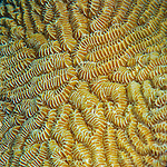 28 January 2016:  Hard Coral such as Brain Coral and other pasta-like patterns (Scleractinia) are seen on the reef at Captain Don's Habitat in Bonaire. Bonaire is known for its pioneering role in the preservation of the marine environment. A part of the Netherland Caribbean Islands, Bonaire is located off the coast of Venezuela and offers excellent scuba diving, snorkeling and windsurfing.  Mandatory Credit: Ed Wolfstein Photo *** RAW (NEF) Image File Available ***