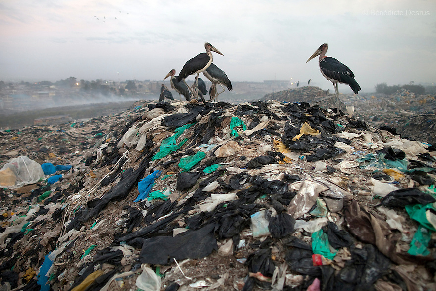 13 february 2013 - Dandora dumpsite, Nairobi, Kenya - Marabou storks at the Dandora dumpsite, one of the largest and most toxic in Africa. Located near slums in the east of the Kenyan capital Nairobi, the open dump site was created in 1975 and covers 30 acres. The site receives 2,000 tonnes of unfiltered garbage daily, including hazardous chemical and hospital wastes. It is a source of survival for many people living in the surrounding slums, however it also harms children and adults' health in the area and pollutes the Kenyan capital. Photo credit: Benedicte Desrus
