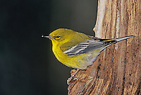 Pine Warbler, Dendroica pinus, male on log with ice, Burlington, North Carolina, USA, January 2005