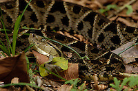 The Terciopelo (Bothrops asper), also called the Fer-de-lance, is one of the most feared and dangerous pit vipers of the central American rainforests.