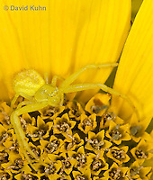 0114-1004  Crab Spider, Misumenops spp.  © David Kuhn/Dwight Kuhn Photography