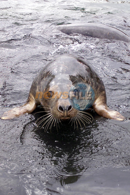 One of the Seals set for release on Sunday from the Irish Seal Sanctuary in Garristown Co Dublin....Picture Fran Caffrey Newsfile...This Picture is sent to you by:..Newsfile Ltd.The View, Millmount Abbey, Drogheda, Co Louth, Ireland..Tel: +353419871240.Fax: +353419871260.GSM: +353862500958.ISDN: +353419871010.email: pictures@newsfile.ie.www.newsfile.ie