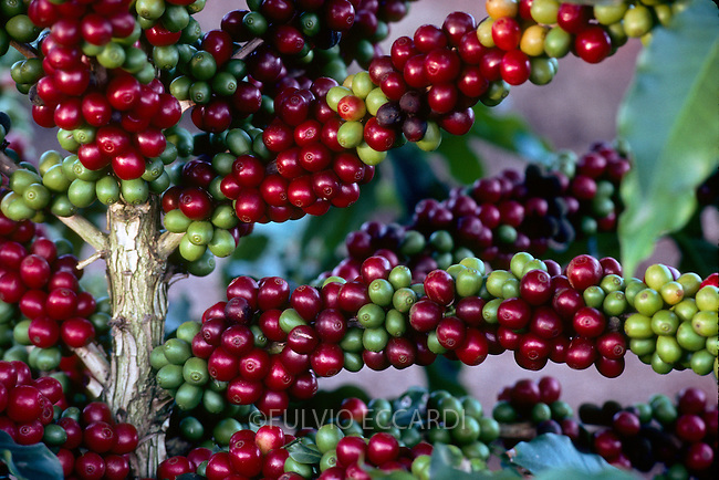 Brazil, Cerrado, Minas Gerais, Patos de Minas, coffee, coffea, arabica, cherries, beans, ripe, unripe, Catuai Vermelho, variety, plantation, plant, tree, bush, foliage, green, red, grow, organic, unpicked, landscape, sunset, clouds