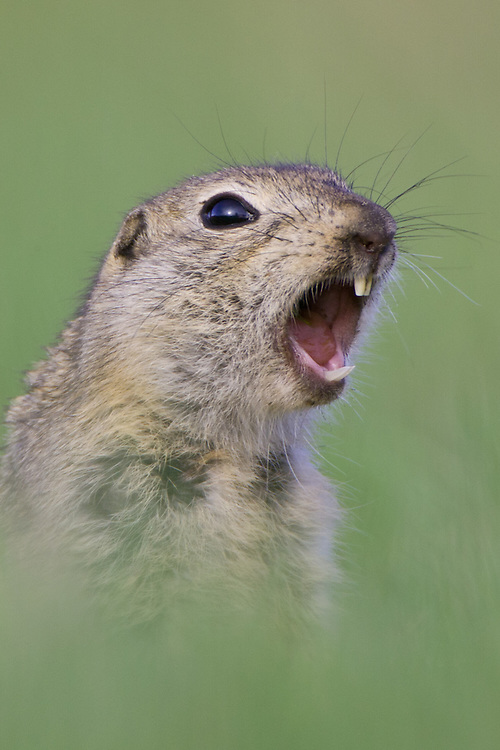 Richardson's Ground Squirrel Portrait