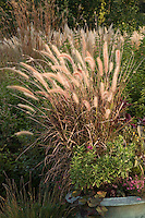 Flowering fountain grass, Pennisetum setaceum 'Rubrum' in container at Northwind Perennial farm, Wisconsin