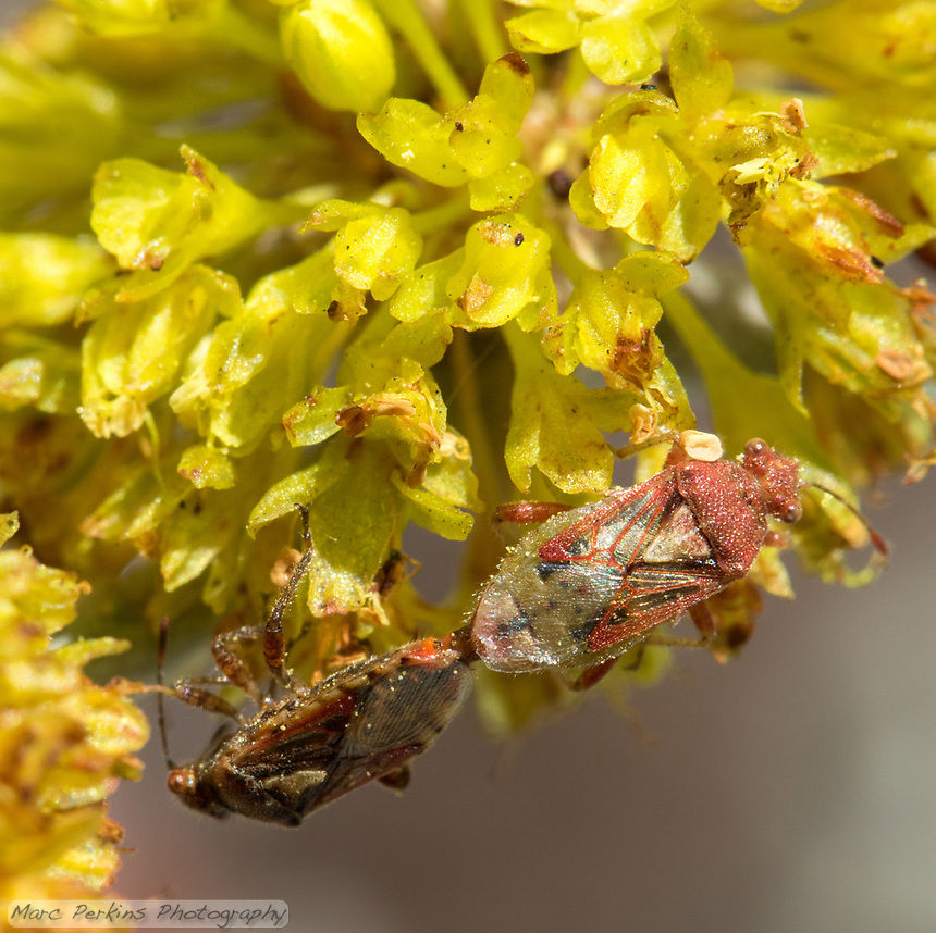 Two hemipterans mate on a saffron buckwheat [Eriogonum crocatum] inflorescence.