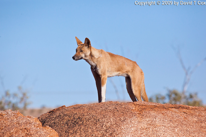 Dingo at Devil's Marbles, NT Outback, Australia
