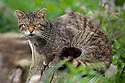 Scottish wild cat {Felis sylvestris grampia}  captive, UK