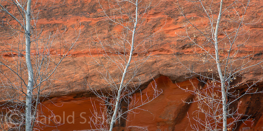 Three trees grow against the red cliff walls of the Burr Trail Utah,