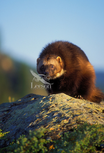 WOLVERINE..Summer. Rocky Mountains..(Gulo gulo).