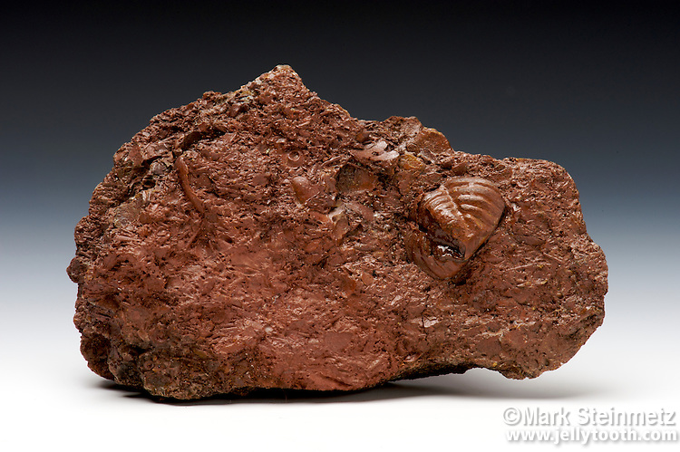 """Clinton"" ore containing a fossil replaced with hematite. The fossil is the pygidium of a trilobite (possibly Calymene niagarensis). Lower Silurian, Brassfield Limestone, near Bainbridge, Ohio"