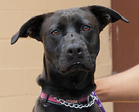 Beauty, a black female terrier / pit bull.