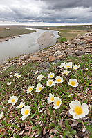 Mountain aven wildflowers along the cliff of the Etivluk river, Arctic, National Petroleum Reserve, Alaska.