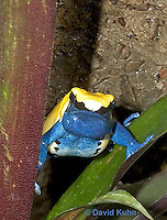"1103-07nn  Dendrobates tinctorius ñ Dyeing Poison Arrow Frog ""Citronella Morph"" ñ Tincs Dart Frog © David Kuhn/Dwight Kuhn Photography"