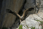 Griffon Vulture with wings outstretched landing on rock face.